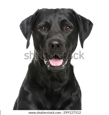 Close-up of a Labrador in front of a white background - stock photo