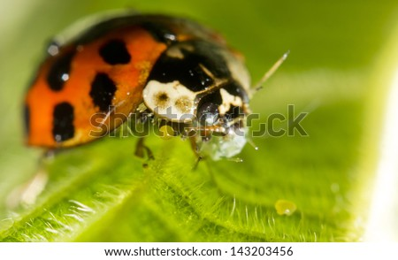 Close-up of a ladybird eating an aphid - stock photo