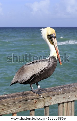 Close up of a large brown gray black white yellow red orange adult pelican seen from the side standing on a pier railing in front of green blue waters of the Atlantic ocean in Pompano Beach, Florida. - stock photo