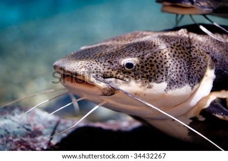 close up of a large catfish - stock photo