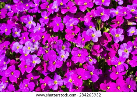 Close up of a large fleck of Aubrieta deltoidea, also known as purple rock cress. - stock photo