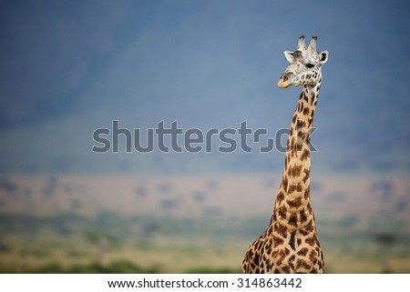 Close up of a large giraffe against a blue mountain - stock photo