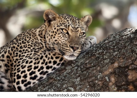 Close-up of a leopard lying in branch of tree - stock photo