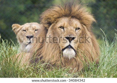 Close up of a Lion (Panthera leo)