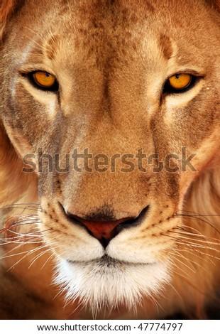 Close up of a lion portrait - stock photo