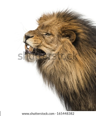 Close-up of a Lion's profile, roaring, Panthera Leo, 10 years old, isolated on white - stock photo