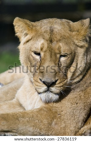 Close up of a Lioness (Panthera leo)