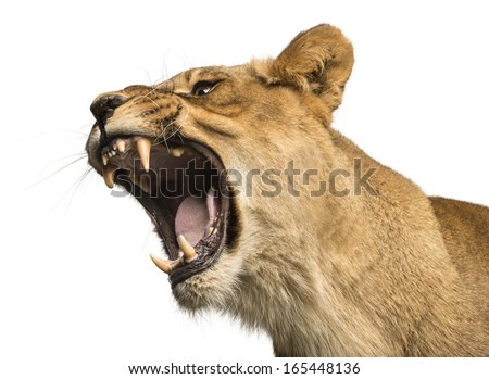 Close-up of a Lioness roaring, Panthera leo, 10 years old, isolated on white - stock photo