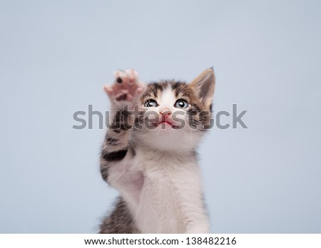 close up of a little cute aggressive kitten on blue background - stock photo