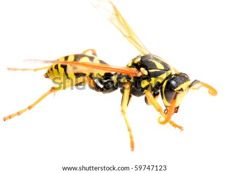 Close-up of a live Yellow Jacket Wasp. Macro with shallow DOF. - stock photo