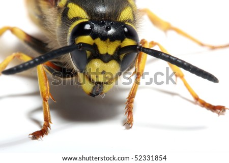 Close-up of a live Yellow Jacket Wasp on white background. Macro shot with shallow dof. - stock photo