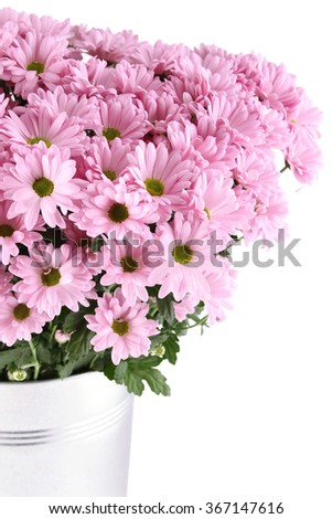 Close-up of a lot of purple chrysanthemums in an iron bucket. Isolated on white background - stock photo