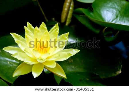 Close up of a lotus flower with green leaves - stock photo