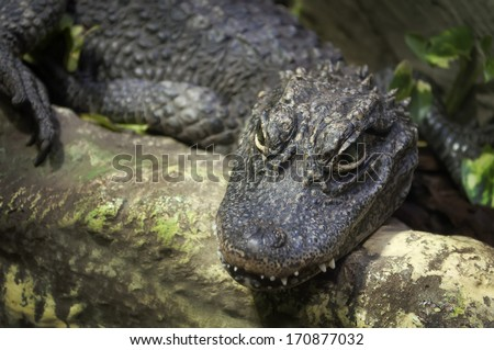 Close up of a lying Chinese alligator (Alligator sinensis) - stock photo