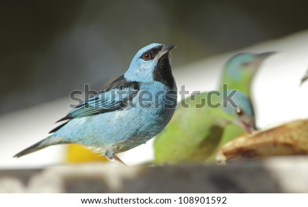 Close-up of a male Blue Dacnis. It's a colorful light blue bird.