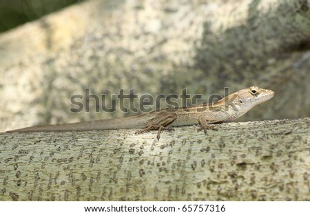 Close up of a Male brown Anole ( Anolis Sagrei or Norops) - stock photo