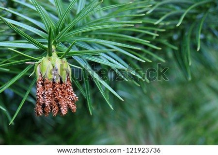 Close Up of a Male Cone Cluster on the China Fir Tree Horizontal With Copy Space - stock photo