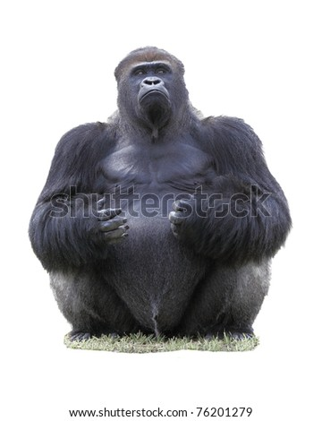 Close up of a male Eastern lowland silverback gorilla (Gorilla Beringei Graueri), isolated on white - stock photo