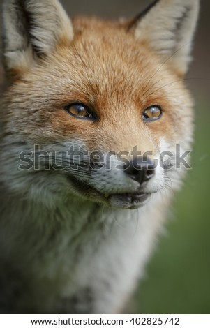 Close-up of a male fox in England - stock photo
