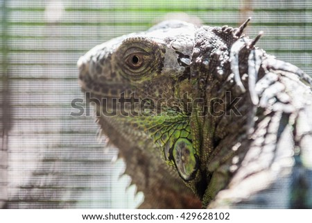 Close-up of a male Green Iguana - stock photo
