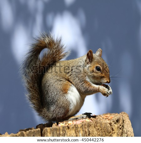 Close up of a male Grey Squirrel on a tree stump