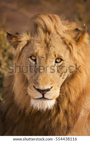 Close up of a male lion in early morning sunlight in Kruger National Park, South Africa.