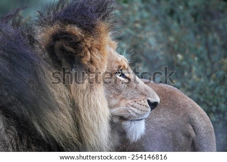 Close up of a male Lion (Panthera leo) in the Amakhala Game Reserve, Eastern Cape, South Africa. - stock photo
