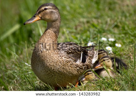 Close-up of a Mallard or Wild Duck (Anas platyrhynchos) with ducklings - stock photo