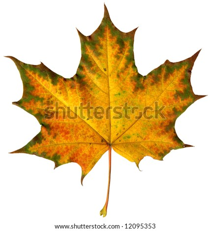 Close-up of a  maple leaf isolated on  white background - stock photo