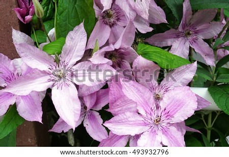 close up of a pale pink single clematis flower on the vine