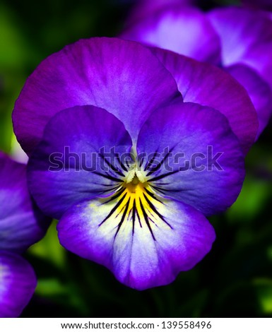Close up of a pansy flower - stock photo