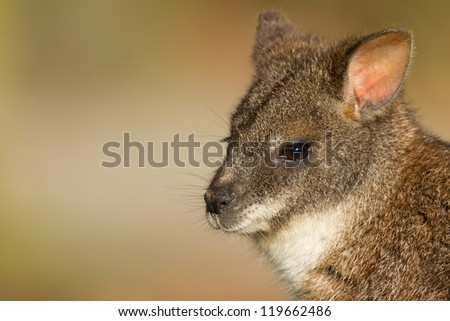 Close-up of a parma wallaby in a dutch zoo