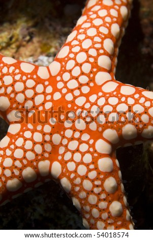 Close-up of a Pebbled sea star. Naama Bay, Red Sea, Sharm el Sheikh, Egypt. - stock photo