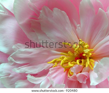 Close up of a peony - stock photo