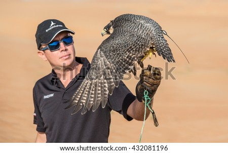 Close up of a peregrine falcon lift off. Dubai Desert Conservation Reserve, United Arab Emirates - 03/JUL/2016 - stock photo