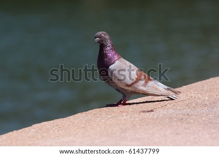 Close up of a pigeon with nice purple coloring.  Shallow depth of field. - stock photo