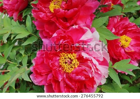 Close up of a pink and white tree peony flower in full bloom