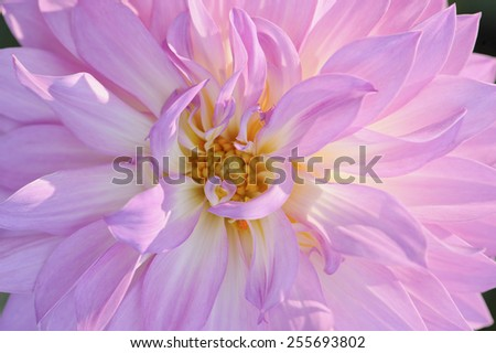 Close up of a pink dahlia blossom in early morning sunlight. Narrow depth of field. - stock photo