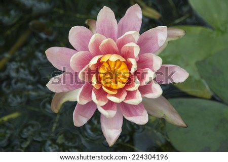 Close up of a pink water lily in a pond - stock photo