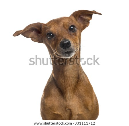 Close-up of a Pinscher in front of a white background