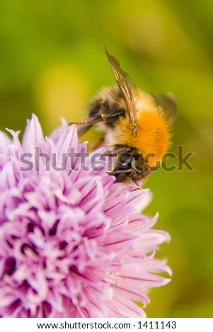 Close up of a pollen collecting Honey bee on pink flower of chive herb in bloom. Blurred vegetation in background. - stock photo