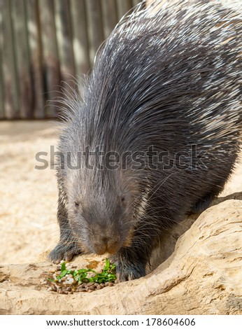 Close up of a Porcupine Eating