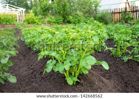 Close up of a potato field - stock photo