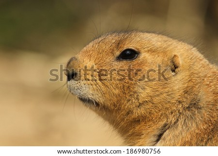 Close-up of a prairie dog - stock photo
