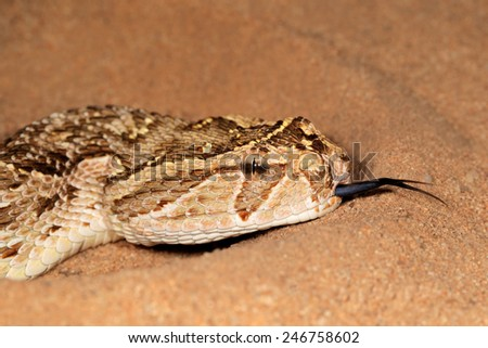 Close-up of a puff adder (Bitis arietans) snake with flicking tongue  - stock photo