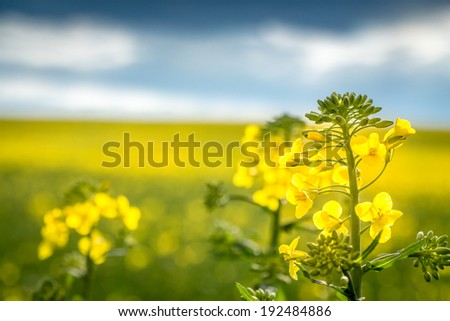 close up of a rapeseed - a rapeseed with field of rapeseed in the background - stock photo