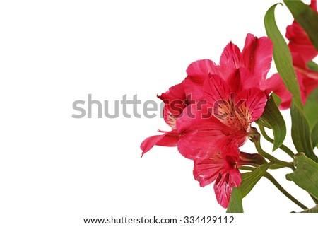 Close-up of a Red Alstromeria  (Peruvian lily)  - stock photo