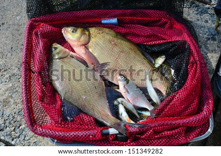 Close up of a red fishing net with big breams - stock photo
