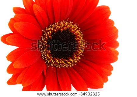 Close up of a red gerbera flower, isolated on white.