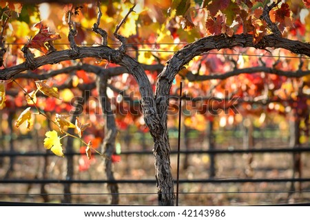 Close up of a Red Grape Wine Vine - stock photo